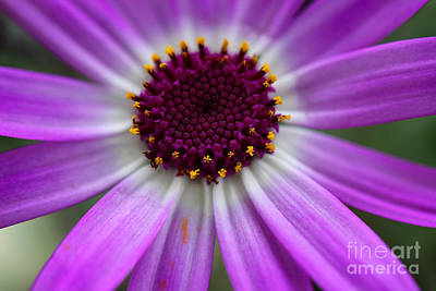 Purple Cineraria Flower Close-up 2016 Print by Karen Adams