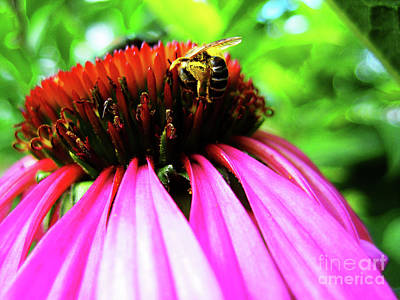 Purple Cone Flower Print by Maria Massimiano