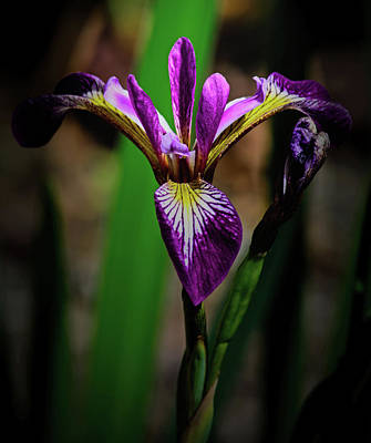 Photograph - Purple Iris by Tikvah's Hope