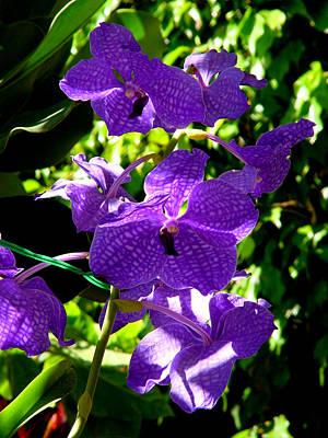 Purple Orchids Print by Susanne Van Hulst