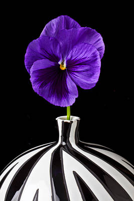 Springtime Photograph - Purple Pansy by Garry Gay