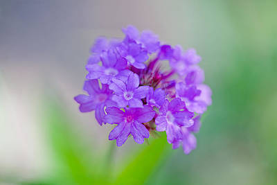 Australian Photograph - Purple Petals by Az Jackson