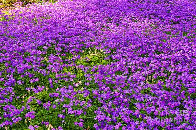 Photograph - Purple Phlox by Rich Walter
