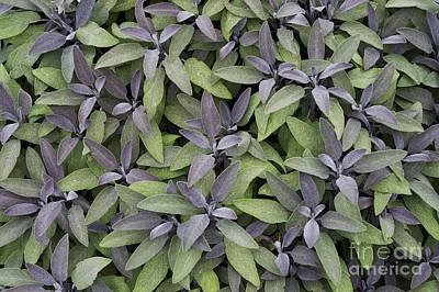Salvia Photograph - Purple Sage by Tim Gainey