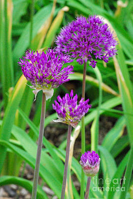 Allium Hollandicum Photograph - Purple Sensation by Nancy Mueller