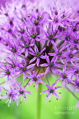 Allium Hollandicum Photograph - Purple Sensation by Tim Gainey