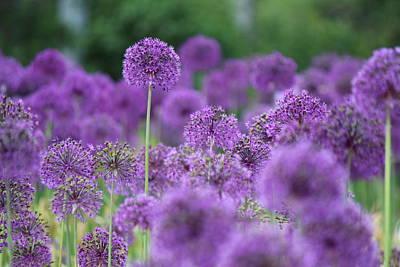 Allium Hollandicum Photograph - Purple Sensations by Nicholas Miller