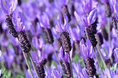 Purple Spanish Lavender Flower Print by Brandon Bourdages