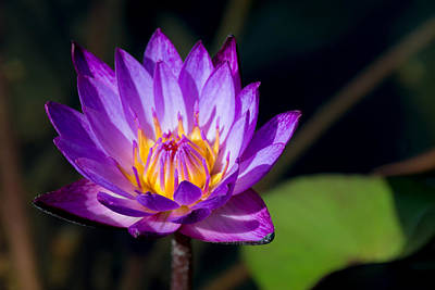 Genus Photograph - Purple Water Lily In Pond 2 by Brian Harig