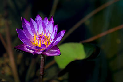 Genus Photograph - Purple Water Lily In Pond by Brian Harig