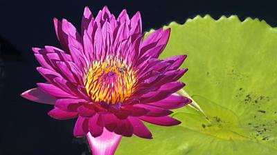Purple Water Lily Print by Mark Holden