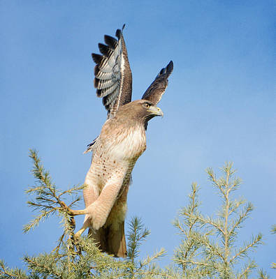 Red Tail Hawk Photograph - Pursuit 2 by Fraida Gutovich