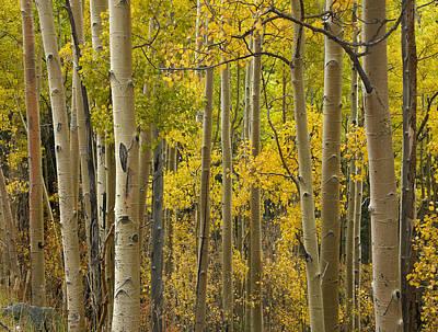 Quaking Aspen Trees In Autumn Santa Fe Print by Tim Fitzharris