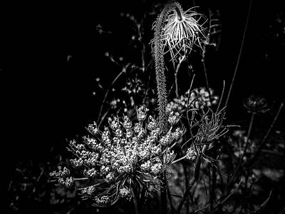 Photograph - Queen Anne's Lace In Black And White by Mother Nature