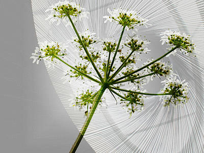 Keck Photograph - Queen Anne's Lace by Nick Eagles