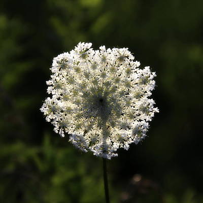 Photograph - Queen Ann's Lace by Alan Skonieczny
