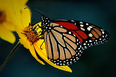 Photograph - Queen Monarch 2 by David Weeks