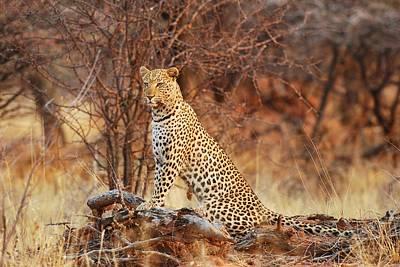 Leopards Photograph - Queen Of The Bush by Tamara Beltrame