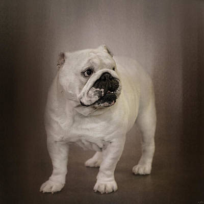 Bulldog Photograph - Quiet Observer by Jai Johnson