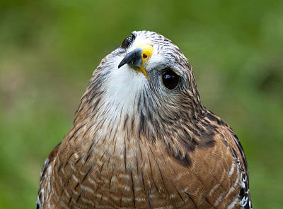 Red-shouldered Hawk Photograph - Quizzical by Kenneth Albin