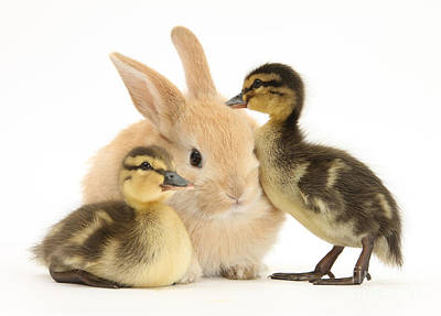 Rabbit And Ducklings Print by Mark Taylor