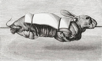 Culinary Drawing - Rabbit Dressed And Prepared For Spit by Vintage Design Pics