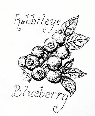 Blueberry Drawing - Rabbiteye Blueberry by Nicole Angell