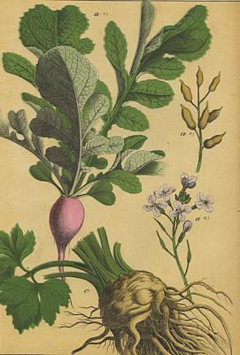 Radish And Celeriac Print by German Botanical Artist