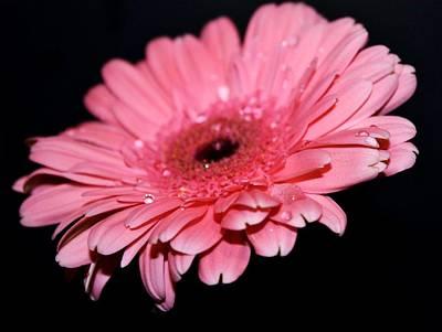 Gerber Daisy Photograph - Rain Drops by Cathie Tyler