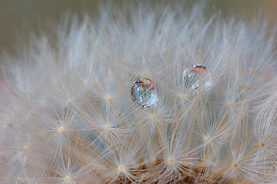 Raindrops Confused In The Fluff Of A Dandelion Original by Yuri Hope