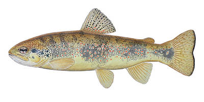 Rare Trout Original by Paul Vecsei