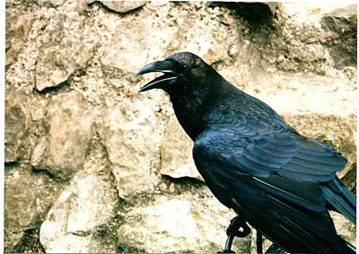 Raven At The Tower Original by Sharon Blanchard