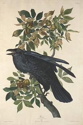 Crows Drawing - Raven by John James Audubon