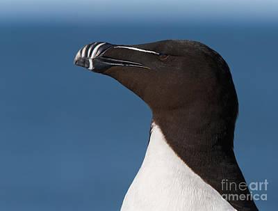 Razorbill Photograph - Razorbill Portrait by Joshua Clark
