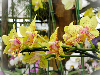 Orchids Photograph - Reaching For by Dora Miller