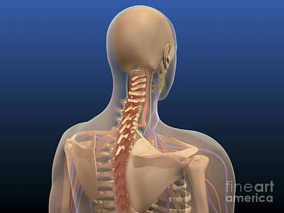 Human Skeleton Digital Art - Rear View Of Human Body Showing Spinal by Stocktrek Images