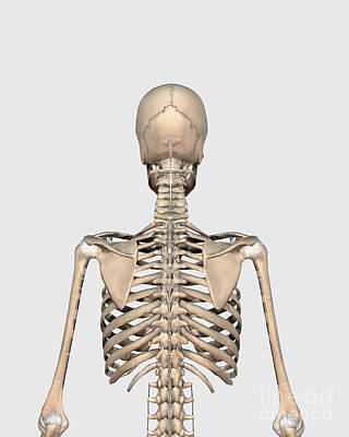 Costae Spuriae Digital Art - Rear View Of Human Skeletal System by Stocktrek Images