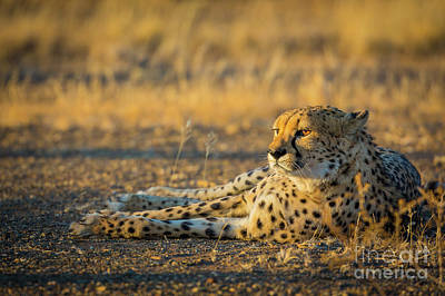 Crouched Photograph - Reclining Cheetah by Inge Johnsson