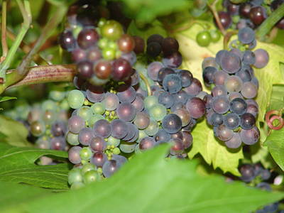 Photograph - Red And Green Grapes by Ashok Patel