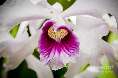 Red And White Orchid Print by Oscar Gutierrez