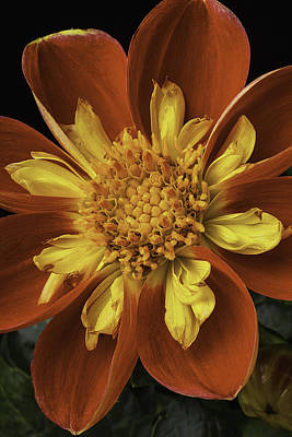Harlequin Photograph - Red And Yellow Dahlia by Garry Gay
