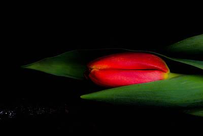 Red Beautiful Harmonious Tulip Original by Toppart Sweden