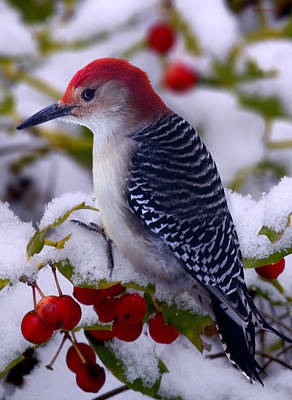Red Bellied Woodpecker Print by Ron Jones