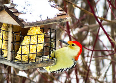 Red Bird Photograph - Red-bellied Woodpecker by Stephanie Forrer-Harbridge