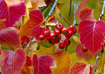 Red Berries Fall Colors Print by James Steele