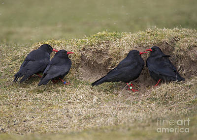 Islay Photograph - Red-billed Choughs by Michael Durham/FLPA