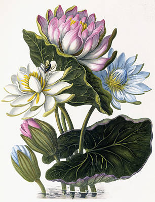 Lotus Leaves Painting - Red, Blue, And White Lotus Flowers by William Hooker