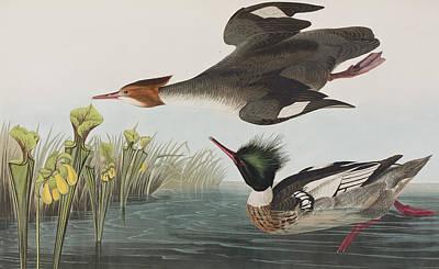 Red-breasted Merganser Print by John James Audubon