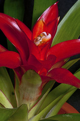 Red Bromiliad Print by Christopher Holmes