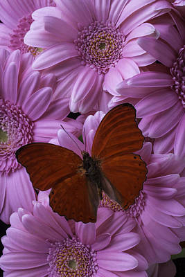 Gerbera Daisy Photograph - Red Butterfly On Mini Gerbera's by Garry Gay